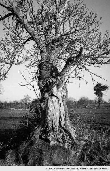 Old oak tree in wintertime with a face like Silverbeard, Montmartin, France, 2009 by Elise Prudhomme
