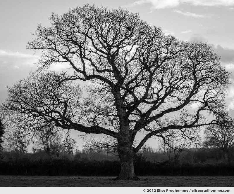 Old oak tree with skeletal branches in wintertime, Hauteville-sur-Mer, France, 2012 by Elise Prudhomme