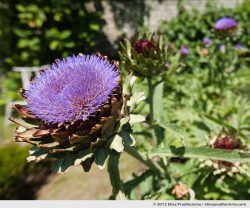 Artichokes in bloom, Brecy Castle Gardens, Saint Gabriel Brécy, France. 2012 (series Notable Gardens of France) by Elise Prudhomme.