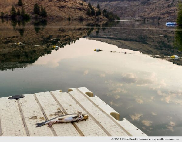 Fish out of water, Pelton Dam, Jefferson County, Oregon, USA 2014 (series Wild Wild West) by Elise Prudhomme.