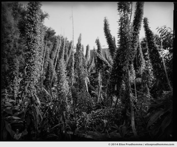 Echiums and stalks in the Jardin d'Acclimatation, Tatihou Island, Saint-Vaast-la-Hougue, France. 2014 (series Sands of Time) by Elise Prudhomme.