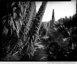 Echiums in the Jardin d'Acclimatation, Tatihou Island, Saint-Vaast-la-Hougue, France. 2014 (series Sands of Time) by Elise Prudhomme.