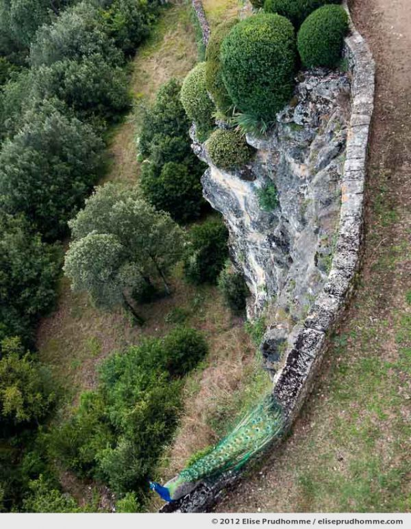 Peacock, The Suspended Gardens of Marqueyssac, Vezac, France, 2012 (series Notable Gardens of France) by Elise Prudhomme.