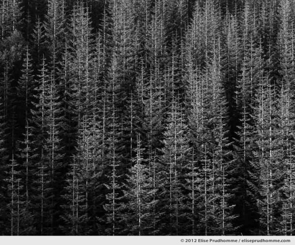 Pendleton, reforestation near Mount Saint Helens, Washington, USA. 2012 (series Wild Wild West) by Elise Prudhomme.