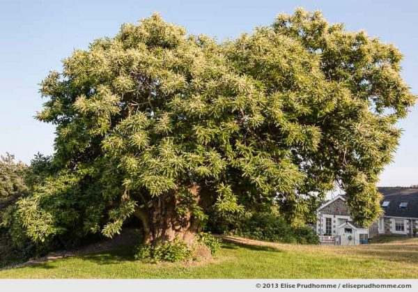Second of a pair of 400 year old Oak Trees at Les Cotils, Guernsey, St Peter Port, Channel Islands, 2013
