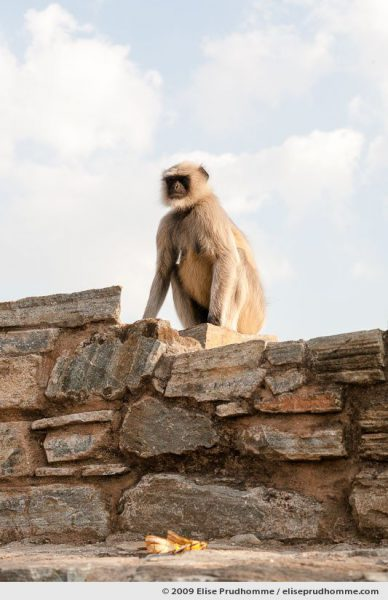 A grey Hanuman Langurs monkey sits on the ramparts of Kumbalgarh Fort, Rajasthan, Northern India, 2009 by Elise Prudhomme.