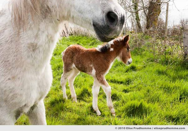 A mare and her newborn foal in a spring green field, Normandy, France, 2010 by Elise Prudhomme.