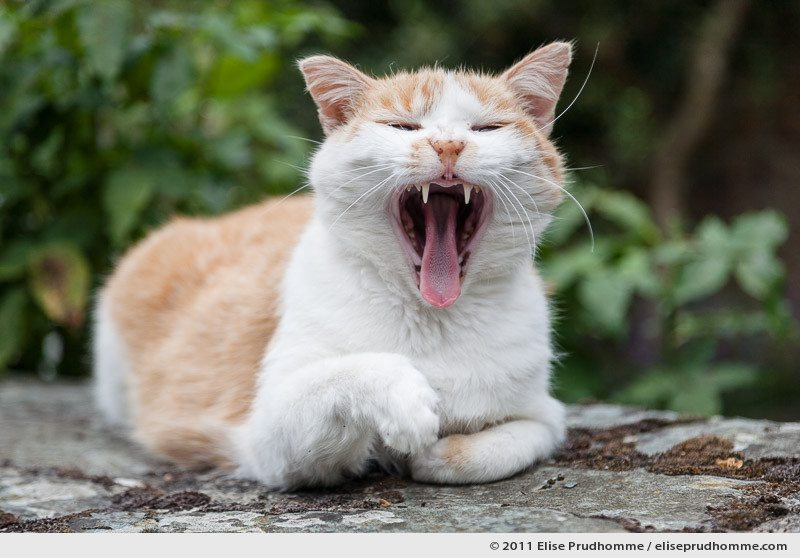 A yawning cat sitting on a stone wall, France, 2011 by Elise Prudhomme.