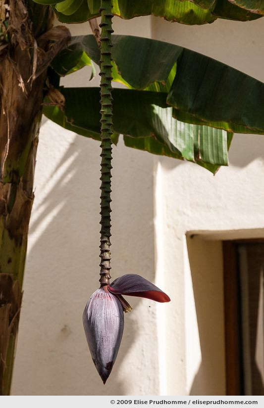 Banana flower in the courtyard of Devi Garh Resort Hotel, Delwara, Northern India, 2009 by Elise Prudhomme.