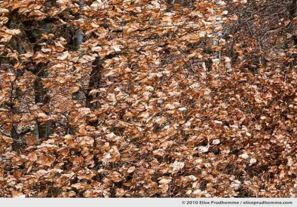 Close-up of brown winter leaves of European beech, Saint-Ours-les-Roches, Auvergne, France, 2010 by Elise Prudhomme.