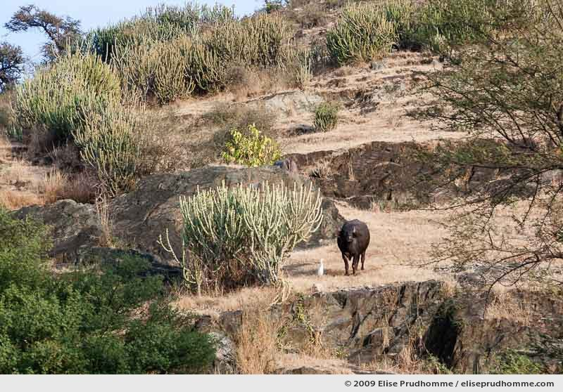 Cattle egret standing with a cow on a hill, Delwara, Rajasthan, India, 2009 by Elise Prudhomme.