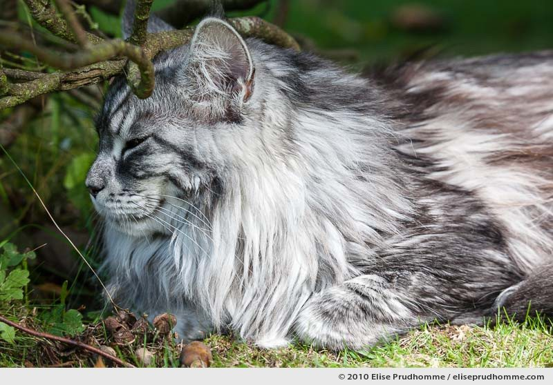 "Close-up of a white and grey striped, or ""mackerel"", angora cat sitting under a bush in the backyard, Normandy, France, 2010 by Elise Prudhomme."