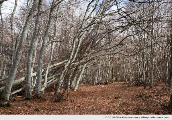 European beech tree forest (Facus sylvatica), Saint-Ours-les-Roches, Auvergne, France, 2010 by Elise Prudhomme.