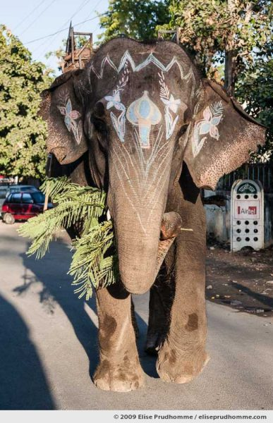 Frontal view of a painted elephant holding a branch of mimosa on the streets of Udaipur, Rajasthan, India, 2009 by Elise Prudhomme.
