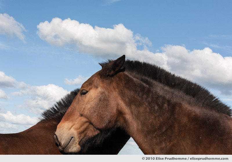 Low-angle view of heads on two brown chestnut horses under a cloud-studded blue sky, Normandy, France, 2010 by Elise Prudhomme.