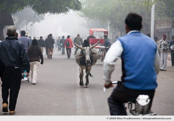 Man on bicycle meets sacred cow on a road leading to the Taj Mahal, Agra, India, 2010 by Elise Prudhomme.