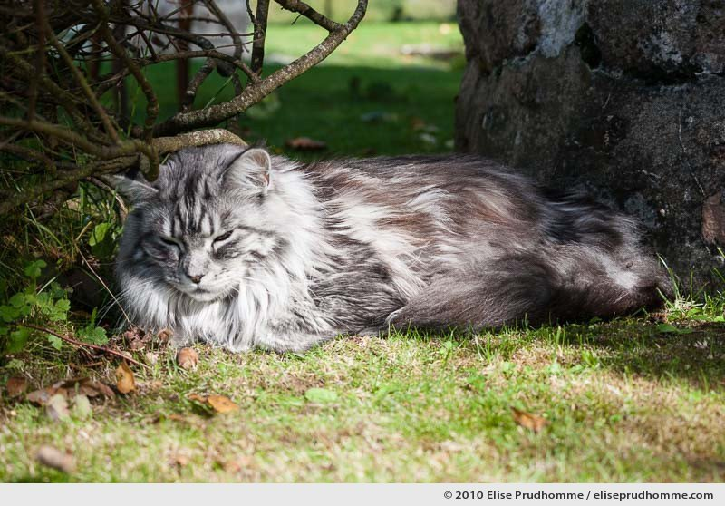 Mature white and grey angora cat sleeping outside under a bush, Normandy, France, 2010 by Elise Prudhomme.