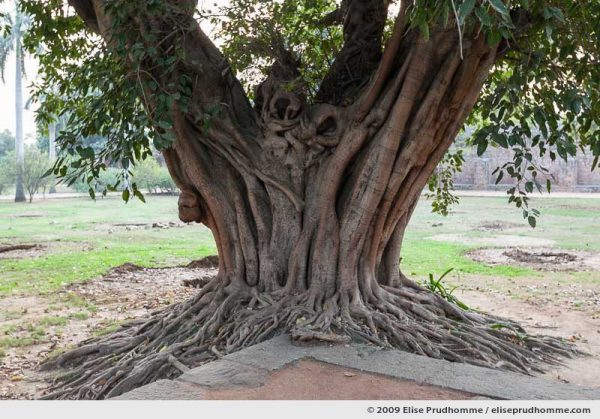 Trunk and roots of an old fig tree in the garden of Humayun's tomb, New Delhi, India, 2009 by Elise Prudhomme.