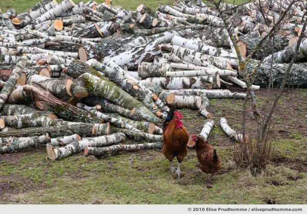 One rooster, one hen and a pile of logs, Beauregard, Auvergne, France, 2010 by Elise Prudhomme.