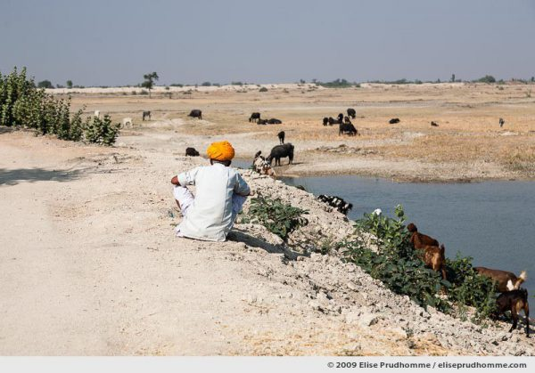 A shepherd minding his goats along the roadside outside Rohet village, Rajasthan, Jodphur, Northern India, 2009 by Elise Prudhomme.