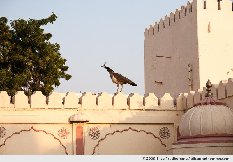 Peacock roaming the roof terrace of Rohet Garh Hotel, Jodhpur, Western Rajasthan, India, 2009 by Elise Prudhomme.
