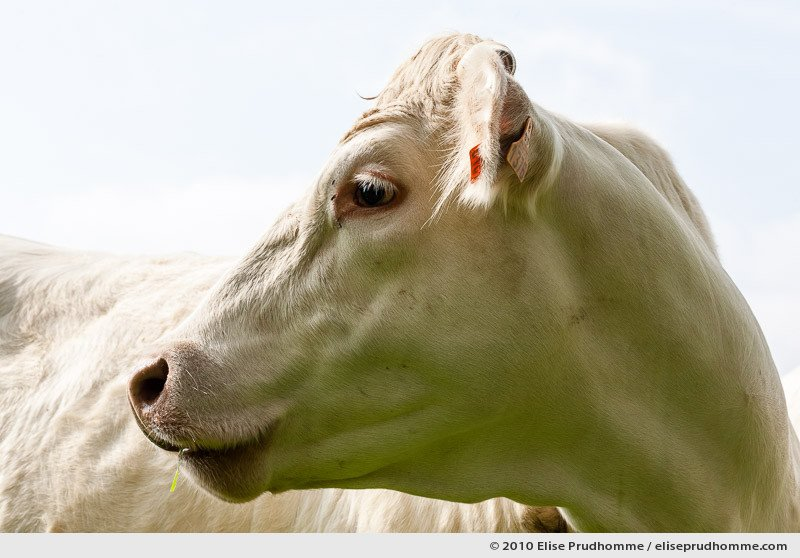 Profile of a Normand white cow with a blade of grass in its mouth, Normandy, France, 2010 by Elise Prudhomme.