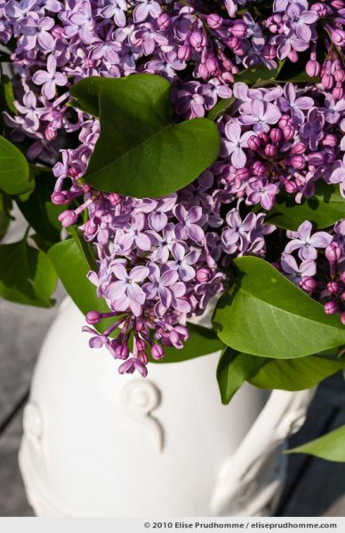 Close-up of purple lilac blossoms in a white vase, Normandy, France, 2010 by Elise Prudhomme.