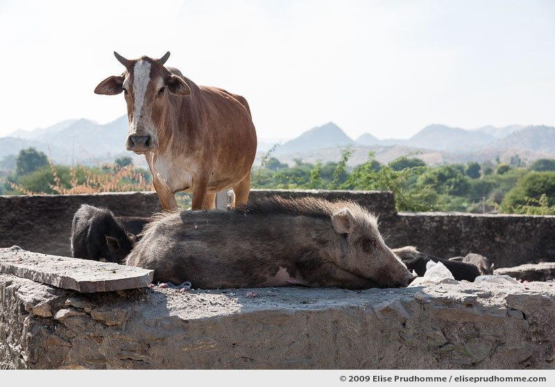Sacred cow and pig sitting together in the sun, Delwara, Udaipur, India, 2009 by Elise Prudhomme.