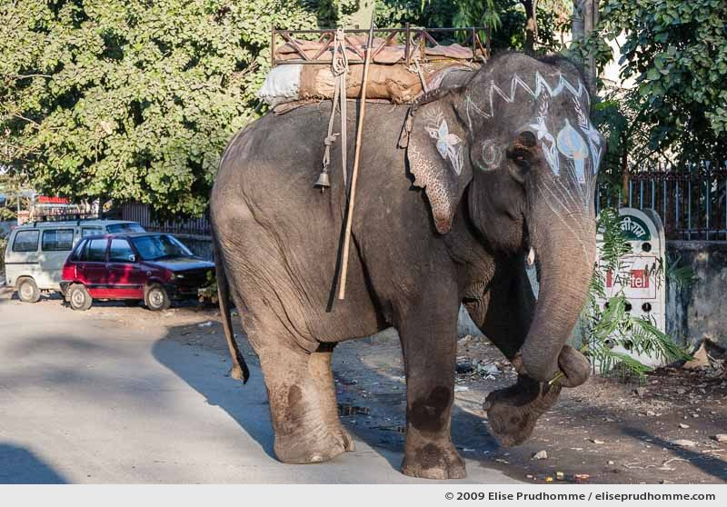 A painted elephant carrying a branch of mimosa walks through the streets of Udaipur, Rajasthan, India, 2009 by Elise Prudhomme.