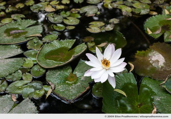 Star lotus (Nymphaea nouchali), also known as the white water lily, Rajasthan, India, 2009 by Elise Prudhomme.