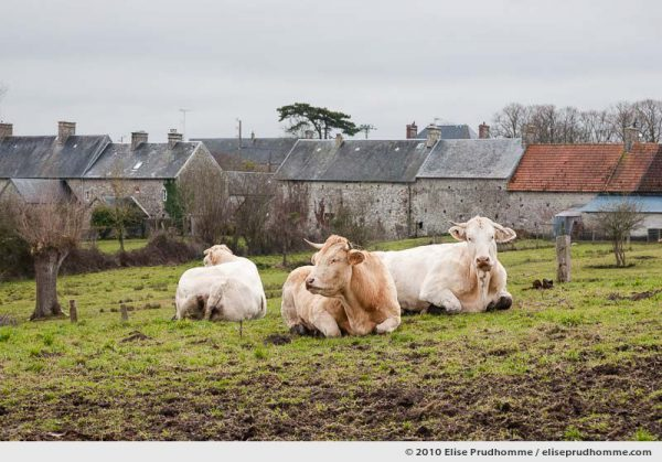 Three cows sitting in a meadow under overcast skies, Montmartin-sur-Mer, Normandy, France, 2010 by Elise Prudhomme.