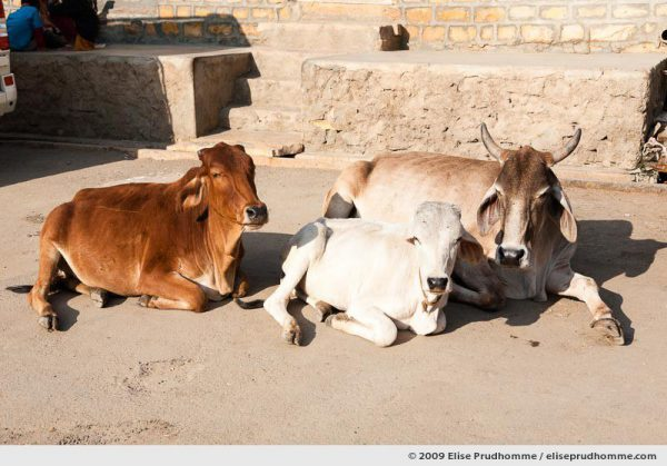 Three cows sitting in the middle of a sunny street in the golden city of Jaisalmer, Western Rajasthan, India, 2009 by Elise Prudhomme