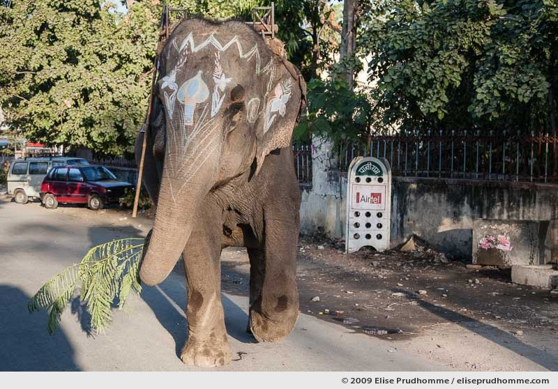 Three-quarter view of a painted elephant holding a branch of mimosa on the streets of Udaipur, Rajasthan, India, 2009 by Elise Prudhomme.
