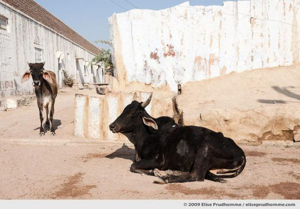 Two black cows in the village streets of Rohet, Rajasthan, Jodphur, India, 2009 by Elise Prudhomme.