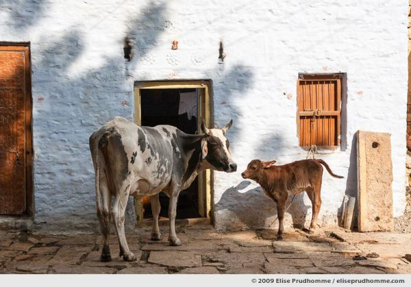 Two sacred cows standing in front of a house in the golden city of Jaisalmer, Rajasthan, Western India, 2009 by Elise Prudhomme.