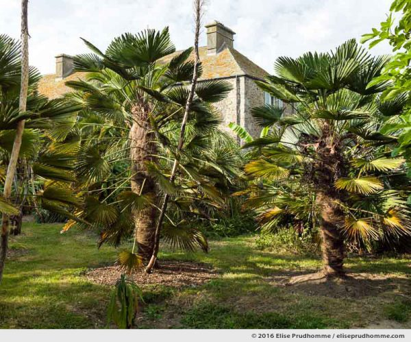 A pair of Chinese Fan Palms in the Jardin d'Acclimatation, Tatihou Island, Saint-Vaast-la-Hougue, France.