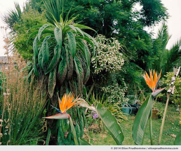 Bird of Paradise blooming in the nursery, Tatihou Island, Saint-Vaast-la-Hougue, France.