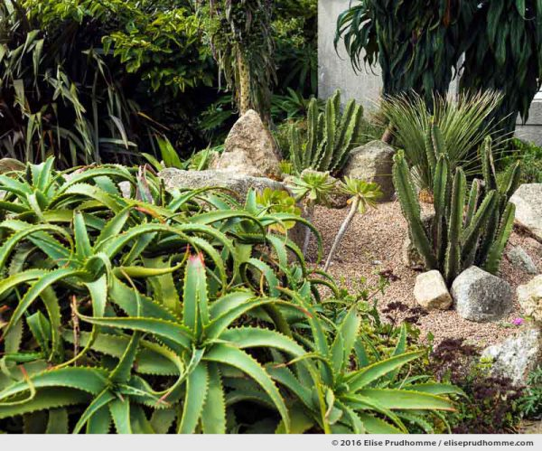 Cactus, aloe arborescens and aeoniums in the succulent garden of the Maritime Museum, Tatihou Island, Saint-Vaast-la-Hougue, France.