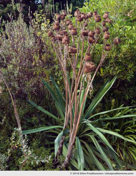 Dried artichokes and stems in the Jardin d'Acclimatation, Tatihou Island, Saint-Vaast-la-Hougue, France