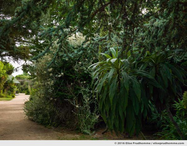 Echium pininana and undergrowth in the Jardin d'Acclimatation, Tatihou Island, Saint-Vaast-la-Hougue, France