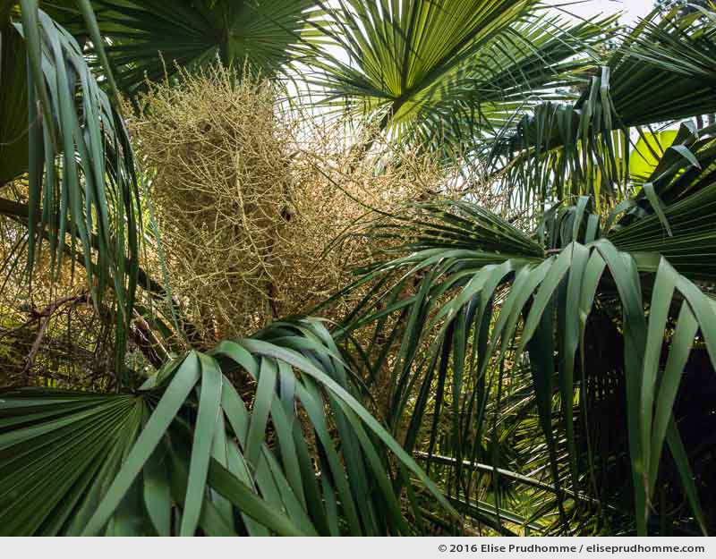 Flowering Chinese Fan Palm in the Jardin d'Acclimatation, Tatihou Island, Saint-Vaast-la-Hougue, France.