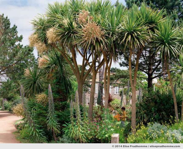 Flowering echium and yuccas in the Jardin d'Acclimatation, Tatihou Island, Saint-Vaast-la-Hougue, France.
