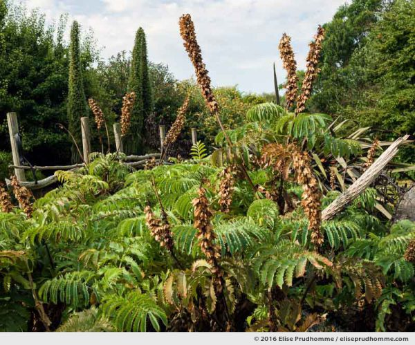 Dried blooms on the Giant Honey Flower (Melianthus major), Tatihou Island, Saint-Vaast-la-Hougue, France