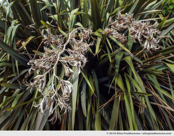 New Zealand flax plant with dried flower stems, Tatihou Island, Saint-Vaast-la-Hougue, France