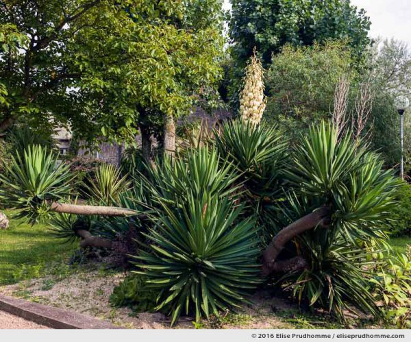 Yucca elephantipes flowering in the Jardin d'Acclimatation, Tatihou Island, Saint-Vaast-la-Hougue, France.