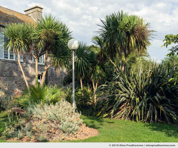 Yuccas and santolina in the Jardin d'Acclimatation, Tatihou Island, Saint-Vaast-la-Hougue, France