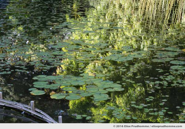 Bamboo forest reflected in a freshwater basin with waterlily leaves, Boulogne-Billancourt, France.