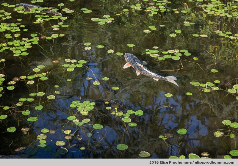 A Koï carp resurfaces from under waterlily leaves in a basin in Boulogne-Billancourt, France.