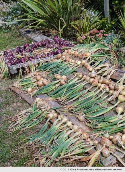 A self-sufficient French household dries its first crop of home grown red and white onions in a vegetable garden in Normandy, France.  Un ménage français autosuffisant séche sa première culture d'oignons rouges et blancs dans un potager en Normandie, France.