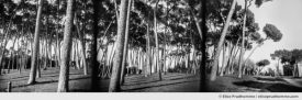 Black and white photograph of pine trees in Villa Doria Pamphilj, Italy. Analog photography series entitled Lieux-dits by Elise Prudhomme.